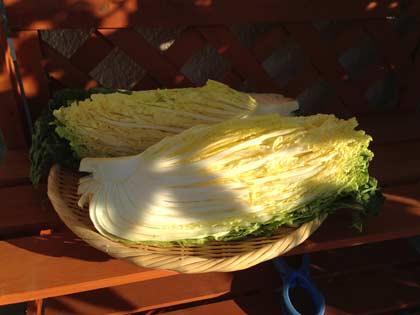 一夜明けた白菜