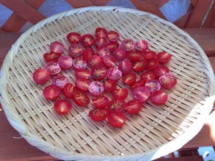ドライトマト初日