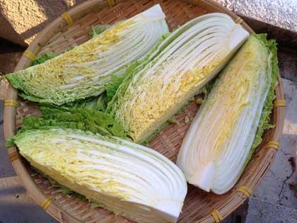 キムチにはこの白菜の半分を使います