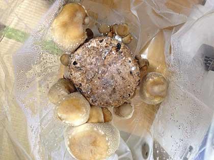 椎茸栽培キットにたくさん生えてます