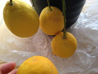 鉢植えのレモン